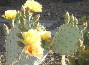 cactus in bloom3